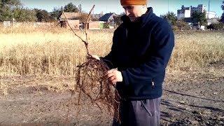 Осенняя посадка саженцев винограда