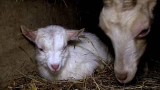 La souffrance des chèvres dans un élevage laitier bio