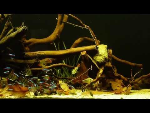 Pterophyllum scalare 39 peru altum 39 und uaru amphiacantho for Peru altum skalar