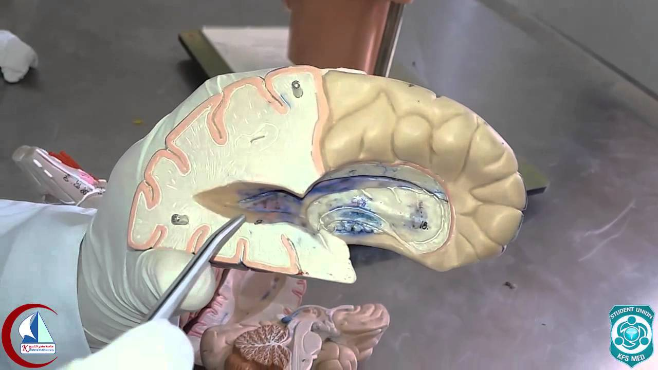 Lateral ventricle (Model) | Practical anatomy 2nd year - YouTube