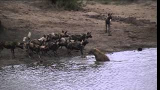 battle at Sabi Sand wild dogs VS hyena 2015