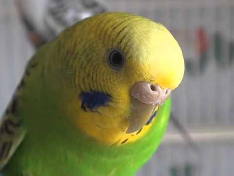 Cute Parakeet Wallpaper Female Light Green Opaline Budgie Parakeet Lola Youtube