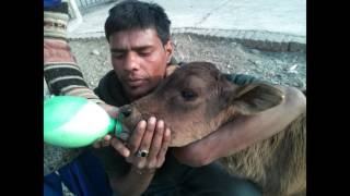 TAKING CARE OF INDIA'S HOLY COW (AND BULLS)