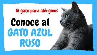 ✅ Gato AZUL RUSO (Russian Blue)  Cuidados / Características