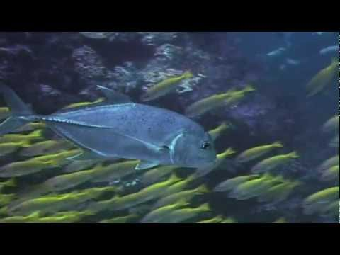 giant trevallies hunting school of fish