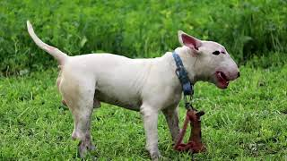 Simrat Bully Kennel || American Bully Kennel In Amritsar ||  Dog Kennel || Scoobers