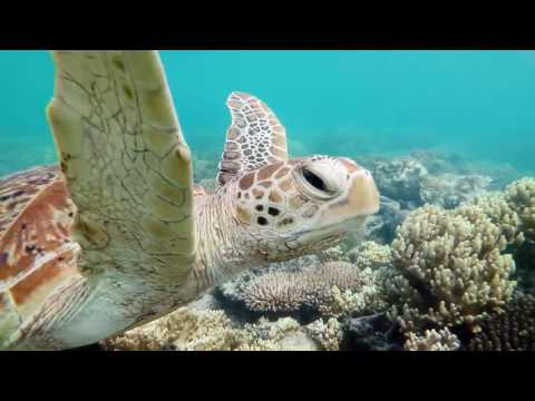 Majestic Sea Turtle Cruises Through Coral at Great Barrier Reef