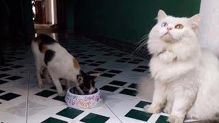 Mèo Cảnh Đẹp. Con Mèo Nga Hai Mầu Mắt Xanh Vàng Lông Xù Bị Tranh Ăn. Красивая русская кошка.