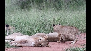 Lion cubs with mommies. KRUGER SUNSET LODGE I SAFARI HIGHLIGHTS #26