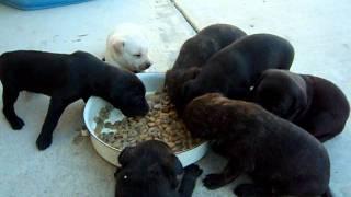 幼犬成長至第二十天,可以試著開始餵食流體食物!
