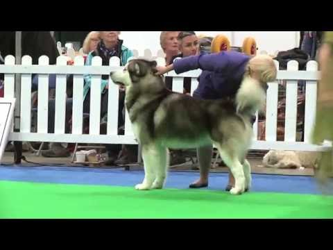 City of Birmingham Dog Show 2016 - Working group - Shortlist