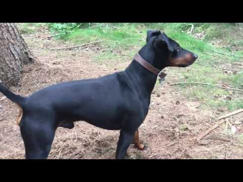 Eric the Manchester terrier in the wood