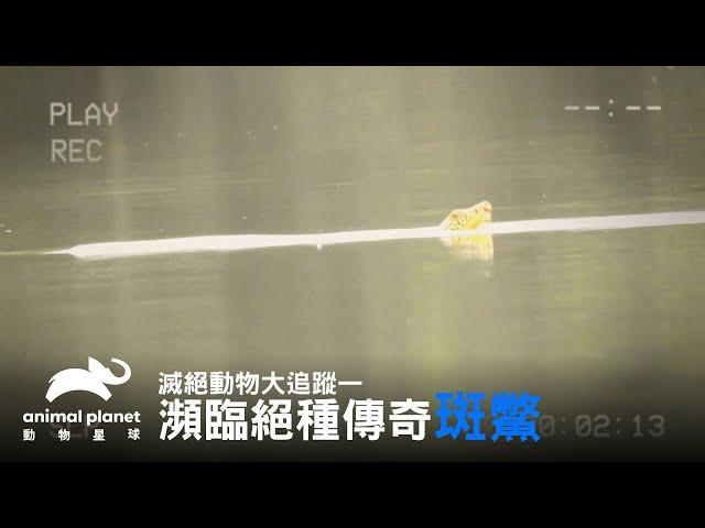 瀕臨絕種90公斤大斑鱉,目前已知的最後母斑鱉已過世 動物星球頻道