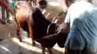 Naveed's Cow Qurbani.3GP