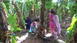 Explanation on control of Fusarium wilt in banana tree |sicp