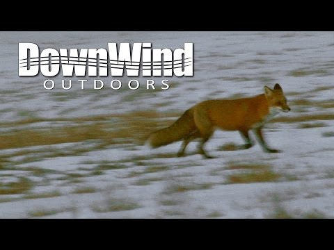Fox Hunting With AR-15: Predator Problems (DownWind Outdoors)