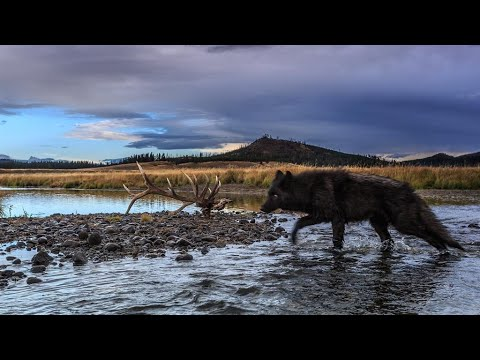 Wolf Pack at Yellowstone