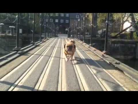 Wags the Pugalier overcomes bridge phobia