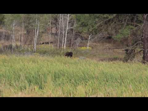 Moose Grazing - Turnbull National Wildlife Refuge - Cheney Washington