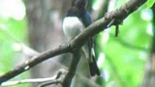オオルリ  Blue-and-White Flycatcher