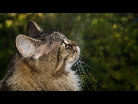 How to Care for Norwegian Forest Cats - Feeding Your Norwegian Forest Cat