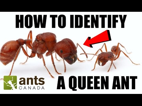 How To Identify a Queen Ant