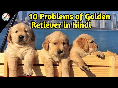 10 Problems of golden retriever / In Hindi / 10 Problems of Golden Retiever