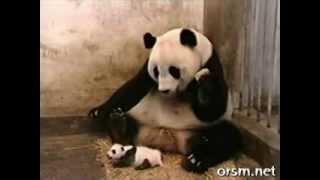 Kichnięcie pandy