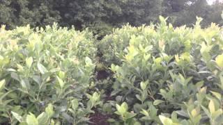 Lonesome Oak Blueberry Farm