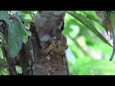 colugo in Borneo 鼯猴科Cynocephalidae [放大 ]