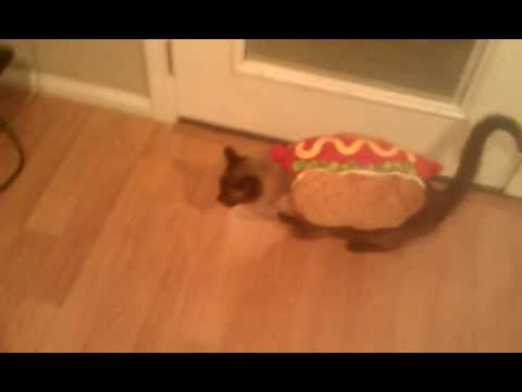 Siamese Cat With a Costume On & Siamese Cat With a Costume On - YouTube