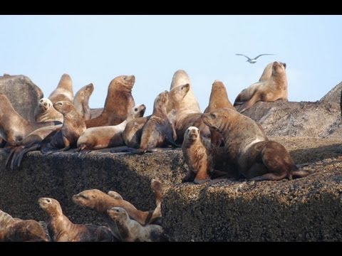 California & Steller Sea Lions - Discovering Wildlife Lecture Series