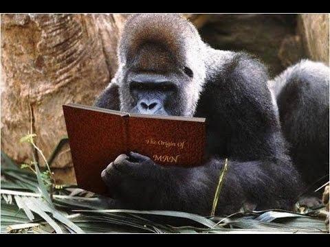 Gorilla Reading Origin of Man