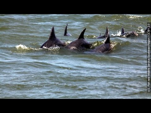 Black Death: BP Oil Spill Blamed For Dolphin Die-Off