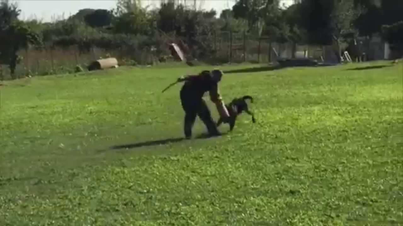 Rio Rottweiler Youtube