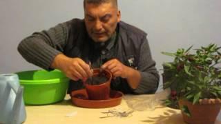 Şifalı Bitki Dereotu Evde Saksıda Kendin Yetiştir