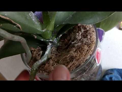 Результаты после обработки орхидей Корневином.