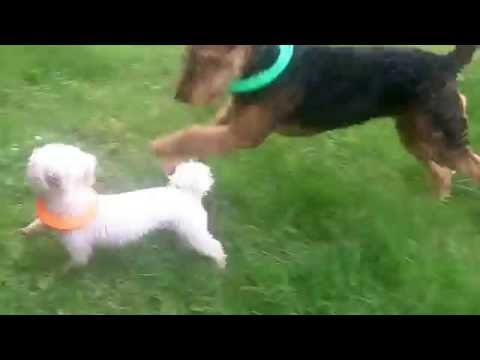Ted the Airedale with Peppa Bichon