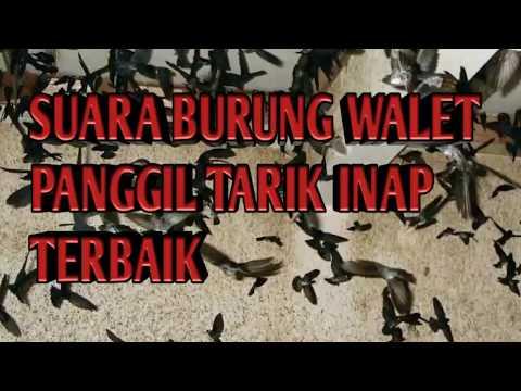 SUARA BURUNG WALET PANGGIL TARIK INAP TERBAIK