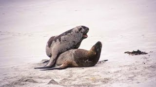 Sea lions mating (Skeleton Coast)