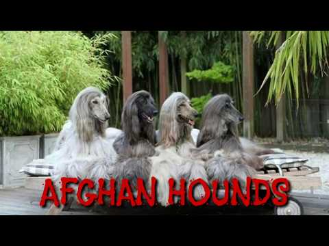 RARE: Afghan Hound Puppy for sale in India. Afhan Hound Pup 4 months old Male.