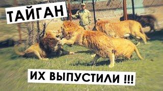 Тайган: выпуск львов в сафари