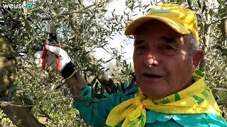 Potatura olivo tronco conica con Fernando (parte 2 di 2) - Guida passo passo  per potare un olivo