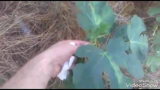 İncir sütünün faydaları yararları incir yaprakları çayının faydaları yararları nelerdir