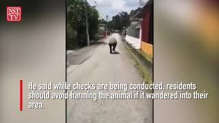 Don't harm wandering tapir, Negri Sembilan Perhilitan tells residents