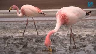 Фламинго в Боливии. Третий день путешествия - Попробуй! ЮА(Фламинго подпустили нас совсем близко. Нам несказанно повезло. Мы наблюдали за ними, любовались их красотой..., 2012-02-13T18:29:19.000Z)