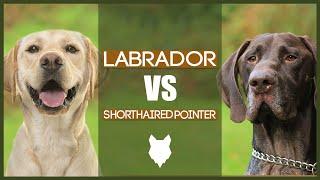LABRADOR VS GERMAN SHORTHAIRED POINTER