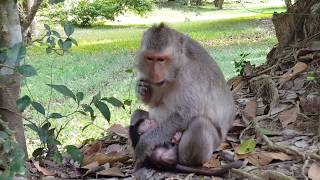 How pity for baby monkey Milto! Cry million times miss mommy Milto