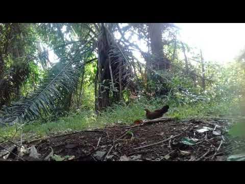 Ayam Hutan Pikat Betina 110