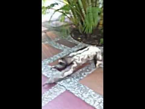 sloth running as fast as he can (colombia)
